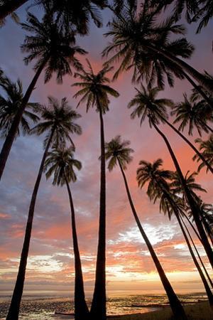 Palm Trees, Royal Kamehameha Coconut Palm Grove, Molokai, Hawaii, USA by Charles Gurche