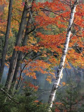 Paper Birch and Red Maple along Heart Lake, Adirondack Park and Preserve, New York, USA by Charles Gurche