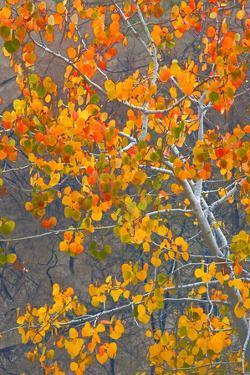 Sawtooth National Forest Aspen, Idaho, USA by Charles Gurche