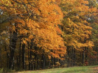 Sugar Maples, Ozark-St. Francis National Forest, Arkansas, USA