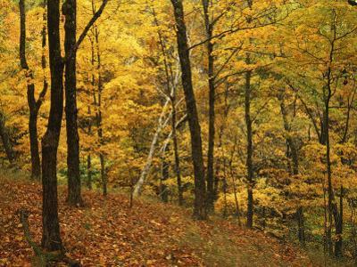 Sugar Maples, Ozark-St. Francis National Forest, Arkansas, USA by Charles Gurche