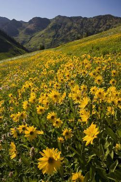 Sunflowers Meadow, Little Cottonwood Canyon, Albion Basin, Utah, USA by Charles Gurche