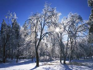 Trees with ice, Spokane County, Washington, USA by Charles Gurche