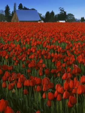 Tulips, Skagit River Valley, Washington, USA by Charles Gurche