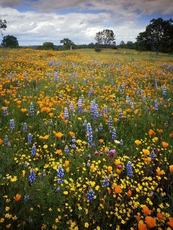 Wildflowers, Avenales Wildlife Area, Shell Creek Road, California, USA