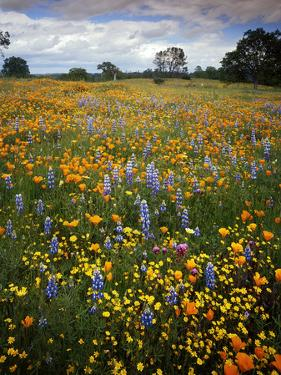 Wildflowers, Avenales Wildlife Area, Shell Creek Road, California, USA by Charles Gurche