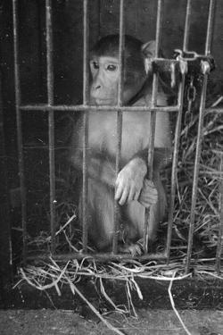 Caged Monkey by Charles Hewitt
