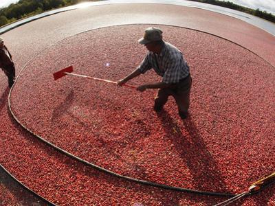 APTOPIX Cranberry Harvest