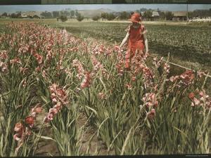 Cultivated Gladiolus in Santa Cruz, California by Charles Martin