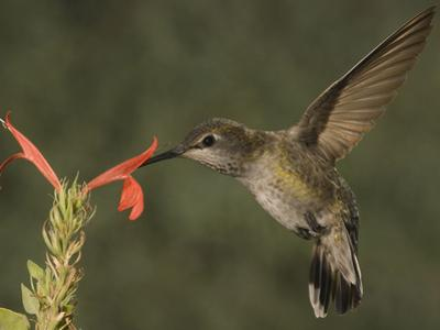 Anna's Hummingbird Female (Calypte Anna) Feeding at a Red Tubular Justicia Candicans Flower, USA