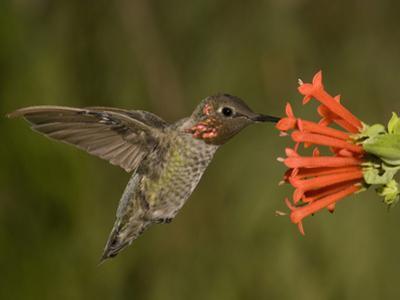 Anna's Hummingbird Male (Calypte Anna) Feeding at a Red Tubular Bouvardia Ternifolia Flower, USA by Charles Melton