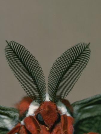 Antenna and Face of Male Cecropia Moth, Hyalophora Cecropia