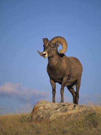 Bighorn Sheep Ram, Ovis Canadensis, Yellowstone National Park, Montana, USA