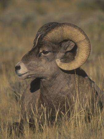 Bighorn Sheep Ram Resting, Ovis Canadensis, Yellowstone National Park, Montana, USA