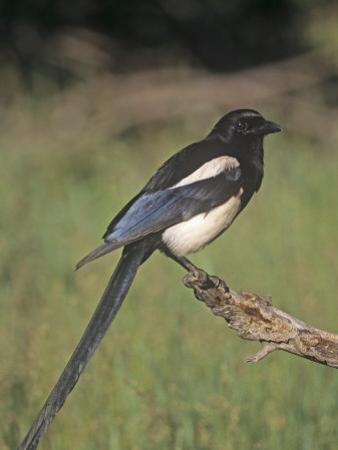 Black-Bellied Magpie, Pica Hudsonia, North America by Charles Melton