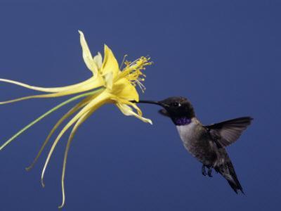 Black-Chinned Hummingbird (Archilochus Alexandri), Madera Canyon, Arizona by Charles Melton