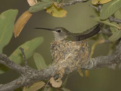 Black-Chinned Hummingbird Female (Archilochus Alexandri) on a Nest in an Oak Tree