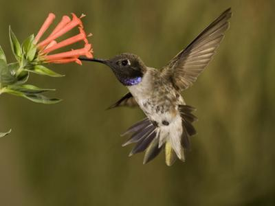 Black-Chinned Hummingbird Male (Archilochus Alexandri) Feeding