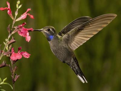 Blue-Throated Hummingbird Male (Lampornis Clemenciae) Feeding at an Autumn Sage Flower by Charles Melton