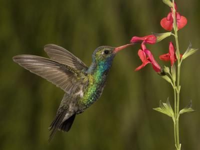 Broad-Billed Hummingbird Male (Cynanthus Latirostris) Feeding at a Sage Flower (Salvia Greggii)