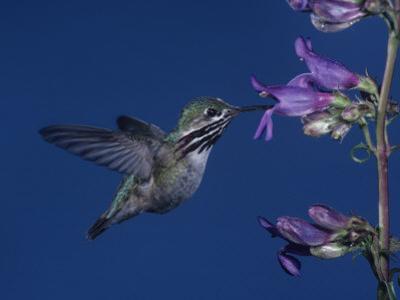 Calliope Hummingbird, Stellula Calliope, Feeding at a Flower