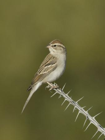 Chipping Sparrow in Winter Plumage (Spizella Passerina) Perched on an Ocotillo Branch, Arizona, USA by Charles Melton