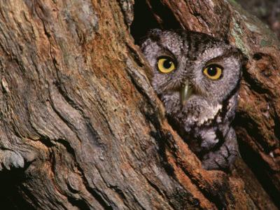 Eastern Screech Owl, Otus Asio, North America