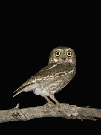 Elf Owl (Micrathene Whitneyi), Sonoran Desert, Arizona, USA