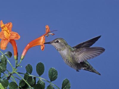 Female Anna's Hummingbird, Calypte Anna, Feeding at a Flower, California, USA by Charles Melton