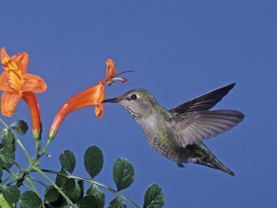 Female Anna's Hummingbird, Calypte Anna, Feeding at a Flower, California, USA
