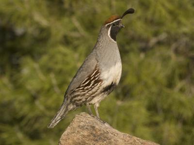 Gambel's Quail Male (Callipepla Gambelii) on a Rock, Sonoran Desert, Arizona, USA