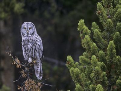 Great Gray Owl in a Coniferous Forest (Strix Nebulosa) Yellowstone National Park, Wyoming, USA