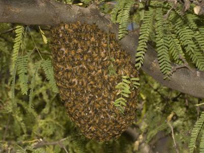 Honey Bee (Apis Mellifera) Swarm in a Mesquite Tree, Sonoran Desert, Arizona, USA