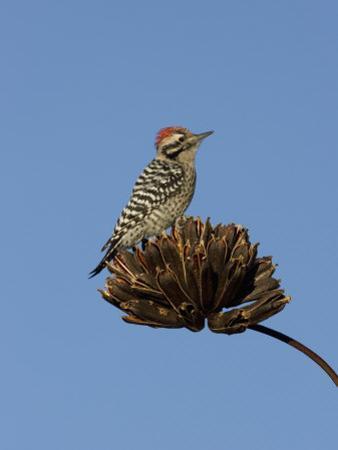 Ladder-Backed Woodpecker Male (Picoides Scalaris) on Agave Palmeri Seed Pods, Arizona, USA