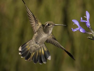 Magnificent Hummingbird Immature Female (Eugenes Fulgens) Feeding at a Sage Flower