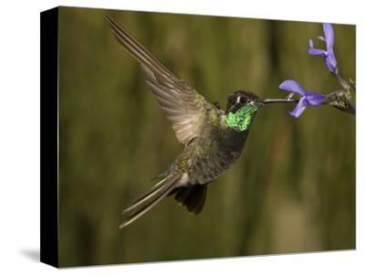 Magnificent Hummingbird Male (Eugenes Fulgens) Feeding at At a Sage Flower
