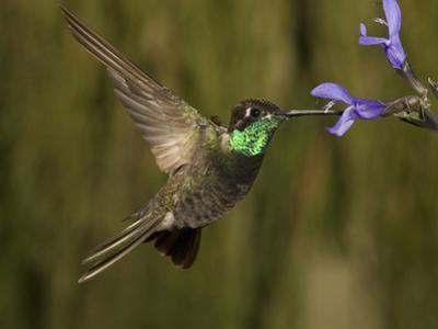 Magnificent Hummingbird Male (Eugenes Fulgens) Feeding at At a Sage Flower by Charles Melton
