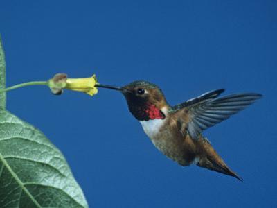Male Allen's Hummingbird, Selasphorus Sasin, Feeding at a Flower, North America