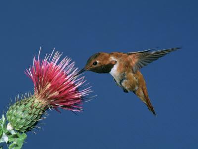 Male Rufous Hummingbird (Selasphorus Rufus) at Thistle