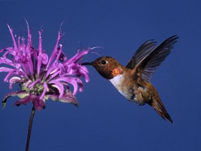 Male Rufous Hummingbird (Selasphorus Rufus) at Wild Bergamot (Monard Fistulosa) by Charles Melton