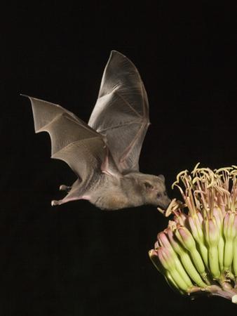 Mexican Long-Tongued Bat (Choeronycteris Mexicana) a Nectar-Feeding Bat at Agave Palmeri Flowers by Charles Melton