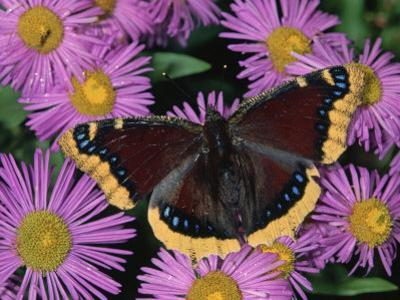 Mourning Cloak Butterfly, Nymphalis Antiopa, on Daisy Flowers, Family Nymphalidae, North America