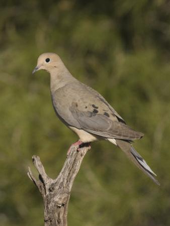 Mourning Dove (Zenaida Macroura) on a Snag, North America