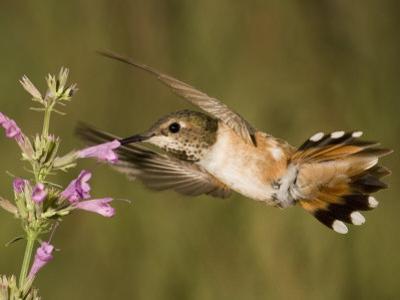 Rufous Hummingbird Female (Selasphorus Rufus) Feeding at a Hyssop Flower (Agastache), Arizona, USA