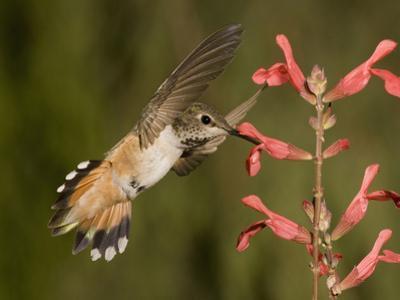 Rufous Hummingbird Female (Selasphorus Rufus) Feeding at a Salvia Flower, Scarlet Spires Variety