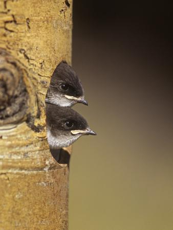 Violet-Green Swallow Nestlings Peering from their Nest Hole in a Tree, Tachycineta Thalassina