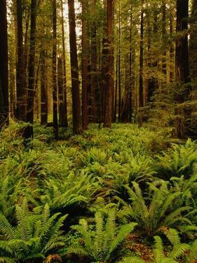 Ferns in Redwood Forest by Charles O'Rear