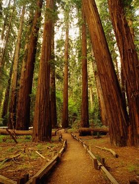 Redwoods Forest by Charles O'Rear