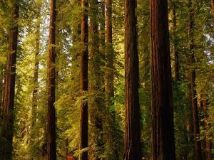 Redwoods by Charles O'Rear