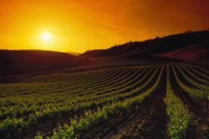 Vineyards at Sunset by Charles O'Rear